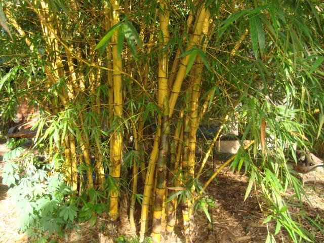 Bambu taquara